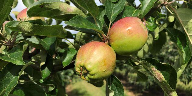 Frostskador sänker äppelskörden