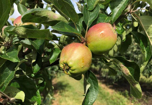 Äpplen på en av Kiviks Musteris odlingar under juli månad.