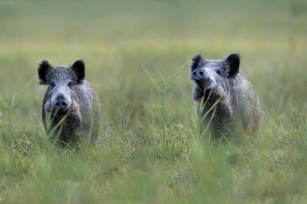 Klartecken om att skjuta vildsvin i det smittade området i Belgien.