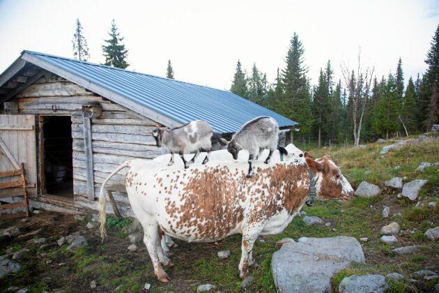 Ledarkon Rut låter tålmodigt de lekfulla killingarna få klättrar upp och ned på hennes rygg.