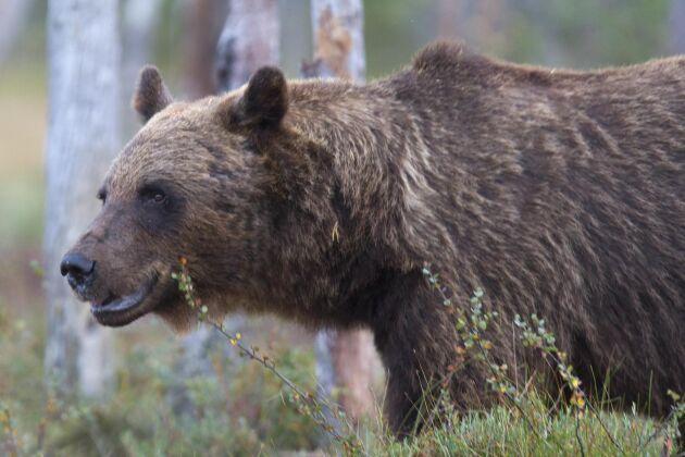 Tillsynen skärps på björnjakt.