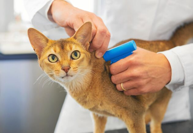 Id-märkning av katter ska göra det lättare att ställa ägaren till svars.