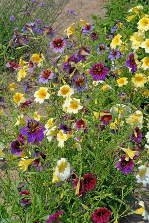 Trumpetblomma Mix innehåller gula blommor och violetta blommor med stänk av guld.
