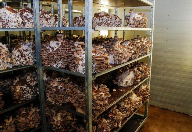För att lyckas med att sälja mer exotiska svampar till konsumenterna har Svensk Ekosvamp tagit fram recept som kunderna kan läsa i mataffären genom att scanna en QR-kod på svamptrågen.
