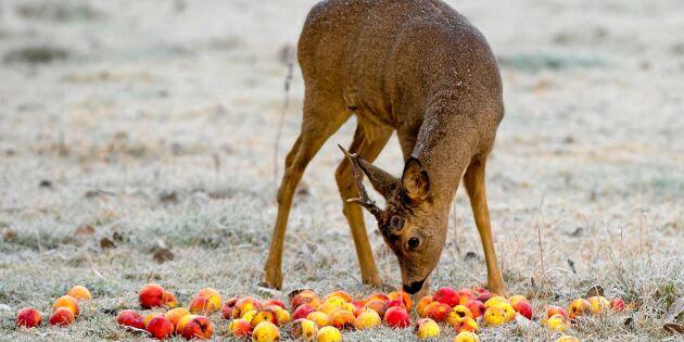 """Jägare varnar för viltolyckor: """"Lägg inte frukt vid vägkanten"""""""