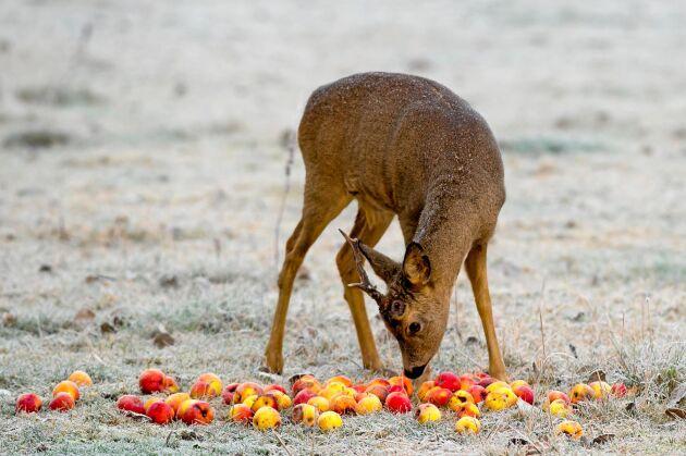 Rådjur äter gärna äpplen. Om fukten placeras ut nära vägen kan det bidra till viltolyckor, menar Nationella viltolycksrådet.