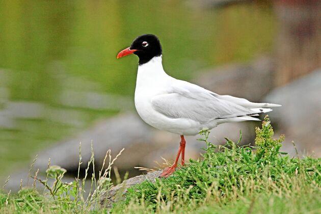 Svarthuvad mås. Kortare och grövre näbb samt vita vingspetsar skiljer den från skrattmåsen.