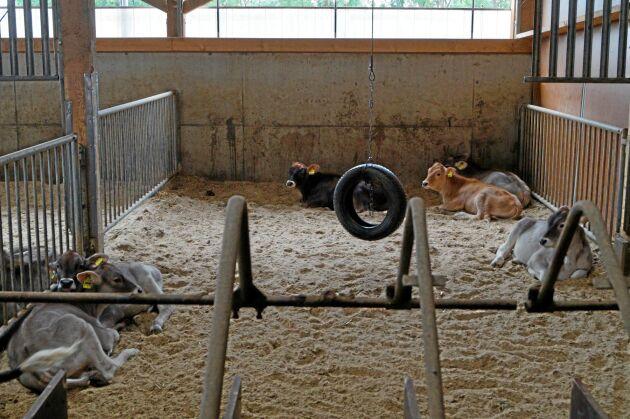 Kalvarna har ett eget stall. De yngsta kalvarna går på ströbädd av sågspån. Det ger mindre ammoniak i luften.