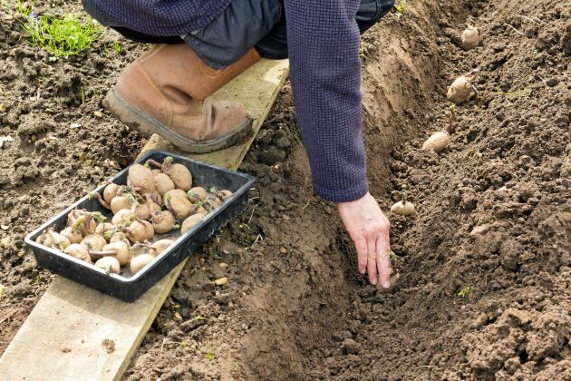 Håll avståndet. Det ger friskare potatis.