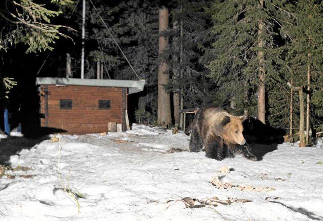 Ett av Göran Ekströms favoritställen är det gömsle han byggt i timmer utanför Brunflo, ett par mil från Östersund. Där plåtade han den här björnen en sen kväll.
