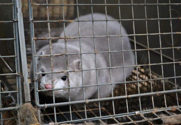 SVT:s granskning visar att Djurens rätt har använt bilder i sina kampanjer som har tagits på ett olagligt sätt. (genrebild på djur vid en minkfarm)