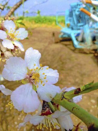 Den bifria pollinatorn sätts först in i odlingar av mandelträd och väntas kunna öka skörden.