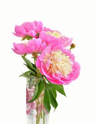 Pionen 'Bowl of Beauty' har sin rosa skål fylld med gult. med gul fyllning.
