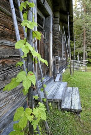 Leta vid de gamla gårdarna. Här står en humle vid en fäbod i Hälsingland.