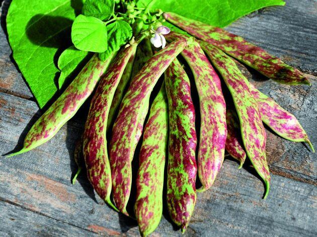 Borlottoböna 'Sanguigno 2' ger vackra rödspräckliga baljor och bönor. Späda baljor är trådfria och äts hela. Mogna bönor kan tillagas färska eller torkas och sparas. Så på friland i maj-juni när jordtemperaturen är minst 15 grader eller så inomhus någon månad tidigare. Höjd 120 cm. Ekofrö. Impecta.