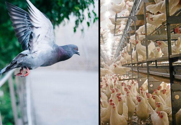 Duvpest är ett virus som är mycket nära besläktat med newcastlesjuka, som drabbar tamfåglar.
