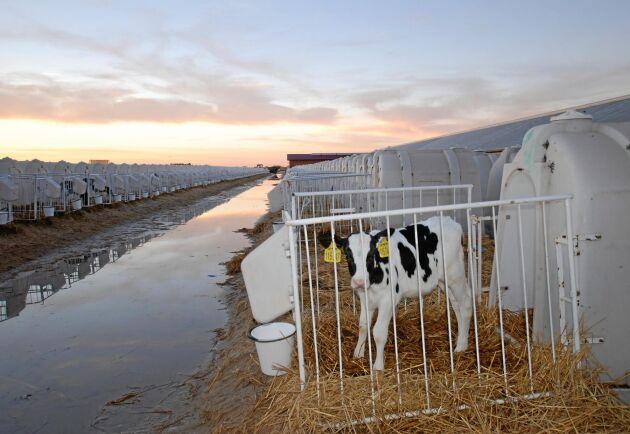 Kalvarna stannar i sina vita plasthyddor till 72 dagars ålder.