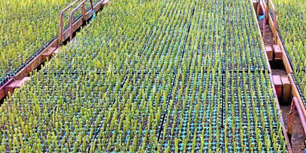 Skogsstyrelsen varnar för förädlingsrisker