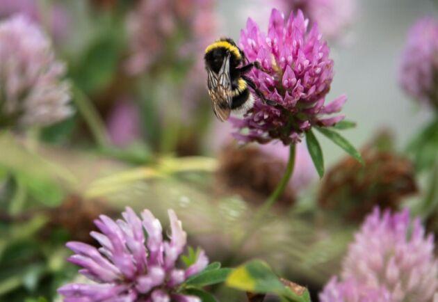 Korsbefruktning kan göra att unika egenskaper går förlorade. Därför köps humlor och flugor in varje år för att i tält sköta pollineringsarbetet av rödklöver.
