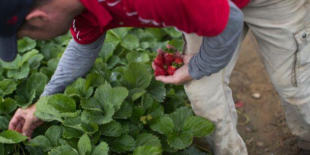 15 års fängelse krävs för jordgubbssabotage