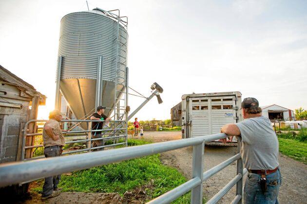 När det är dags för korna att lämna gården är hela familjen med och lastar. Foto: Sabrina Hounshell