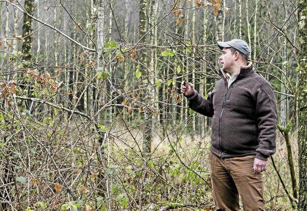 Lövskogen på Christinehof har klarat sig bra från kronhjortarna.