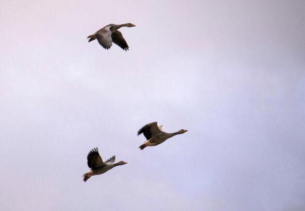 En flock med grågäss flyger förbi. Arkivbild.