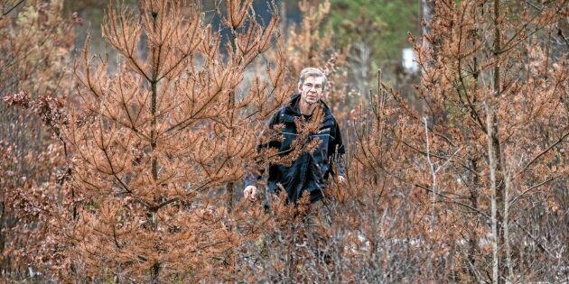 Diplodia bakom omfattande talldöd på Gotland
