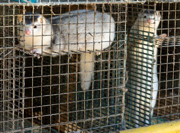Minkfarmen fick oönskat besök av aktivister. Minkarna på bilden är från ett annat tillfälle.