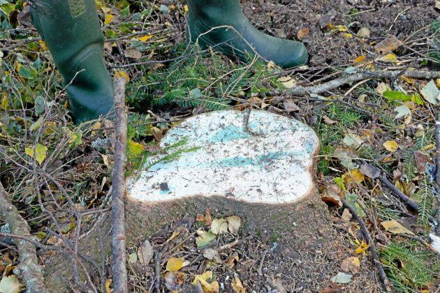 I Finland görs rotrötebehandling av gran vid slutavverkning.