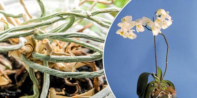 Så räddas en hängig orkidé