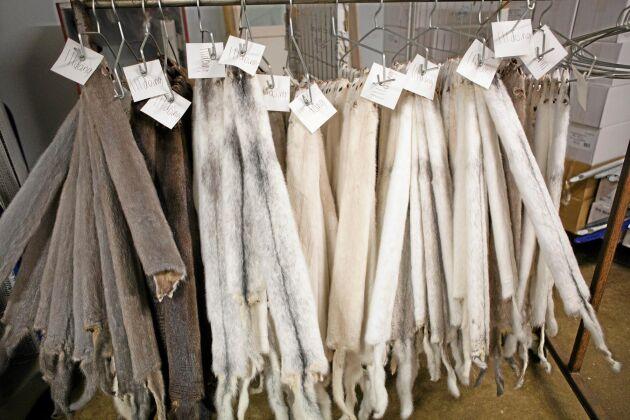 November är pälsningstid för minkuppfödarna. I Niclas Petterssons fall säljs skinnen på auktionen i Köpenhamn. Priserna har under flera år varit låga och uppfödarna hoppas på en uppgång.