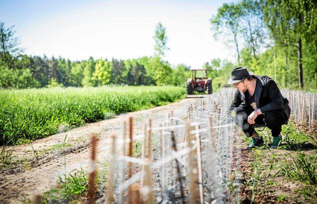 Slår rot. Oskar Dahlbom brinner för Kränkus teodlingen på gården Eskelhem söder om Visby.