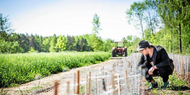 De lyckas med det omöjliga – odlar te i Sverige
