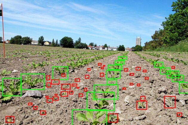 Så här ser världen ofta ut när Blue River och andra företag kopplar på artificiell intelligens. Datorn sorterar automatiskt ut vad som är gröda och vad som är ogräs i videon. Om den missar något kan utvecklarna ofta gå in och klassificera om växten i efterhand så att datorn lär sig att göra rätt nästa gång.