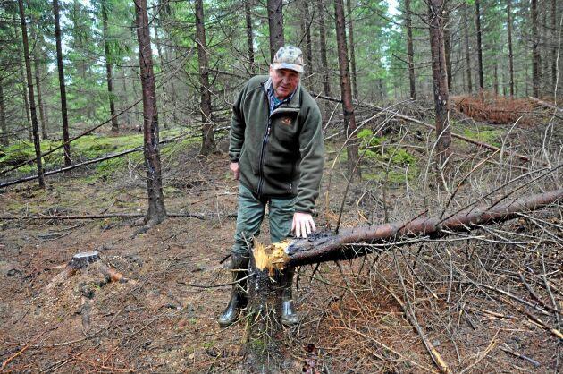 I det här hårt drabbade beståndet har barkflängda granar drabbas av stambrott. De är betydligt färre i de ungskogar som stamkvistats, menar Hans Karlsson.