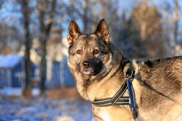 Gråhundstiken Kira är en ställande hund, vanlig vid älgjakt.