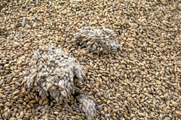 Klumpbildningar och mögel tyder enligt Erik Nordkvist, forskare på SVA, på hög vattenaktivitet. Han anser inte det självklart att spannmålen går att använda till foder.