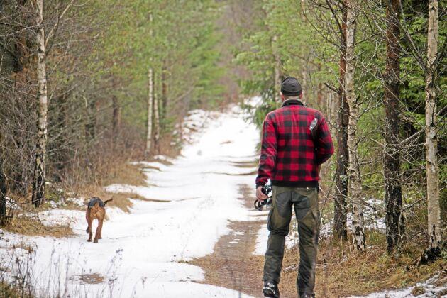 Smålandsstövaren Nickel på väg ut på rävsök. Hundföraren heter Rickard Andersson.