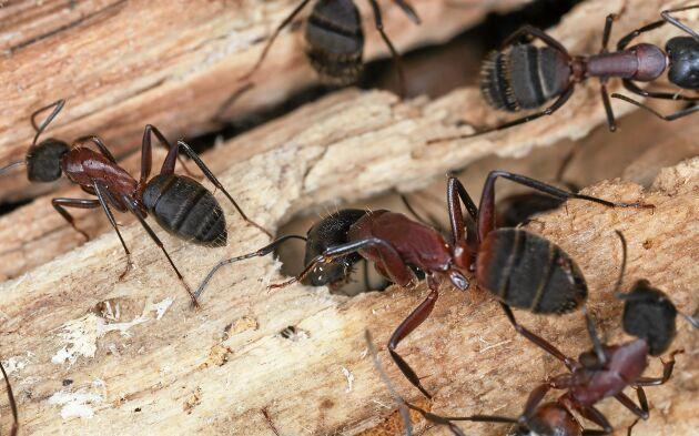 Hushästmyran, Camponotus herculeanus, är mellan 5 och 16 millimeter lång och gnager på trä. Spana efter hål och gnagmjöl.
