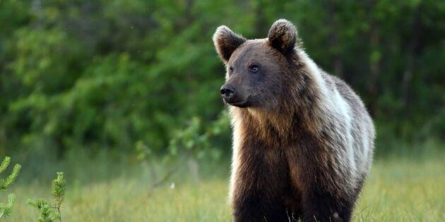 Fler björnar får jagas i Jämtland
