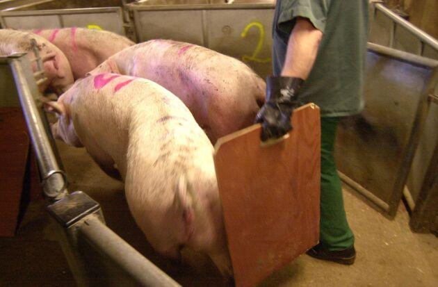 Slakten ökar på Dahlberg Slakteri. 140 000 grisar och 15 000 nöt förra året ska bli ännu fler under 2017 hoppas ägaren Bo Rydlinger. (Bilden är från ett annat slakteri).