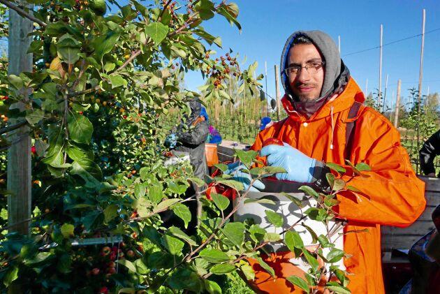 """""""Jag tycker om Sverige"""", säger Mohammad Dib som flydde undan kriget via Libanon. Nu hoppas han att jobbet på äppelodlingen ska öka möjligheterna på arbetsmarknaden."""