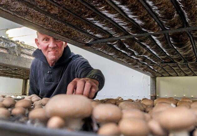 Runt 18 grader är det i odlingsrummen. Sommartid kan rummen behöva kylas ned, för att undvika att svamparna växer för fort och blir övermogna innan Anders Nilsson och kompanjonen hinner plocka.