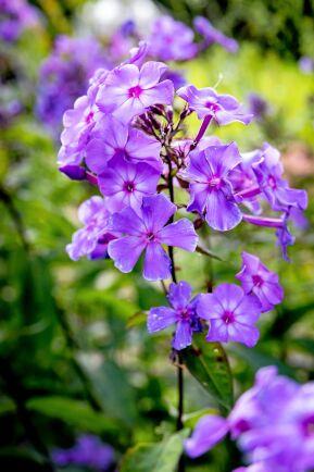 Höstflox bjuder på romantiska och väldoftande blomklasar redan i juli.