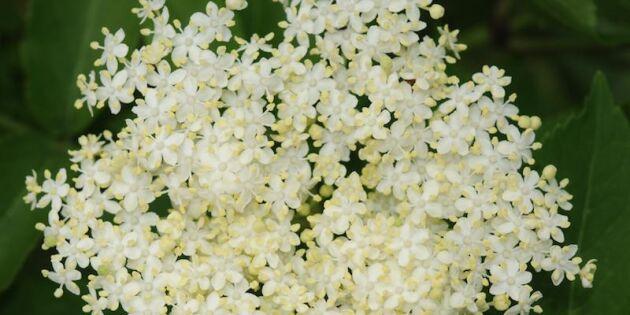 11 goda saker du kan göra med fläderns blommor och bär