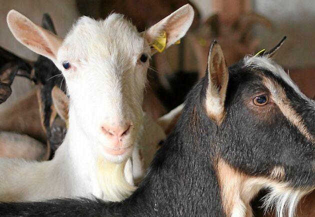 Cypern använder alarmerande mängder antibiotika i djurindustrin.