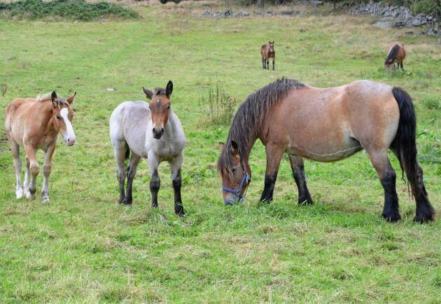 Hästarna föds upp på naturbetesmarker i närheten.