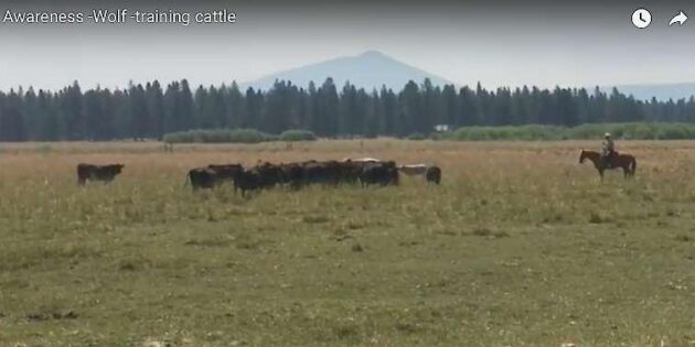 Här tränas korna att stå i flock