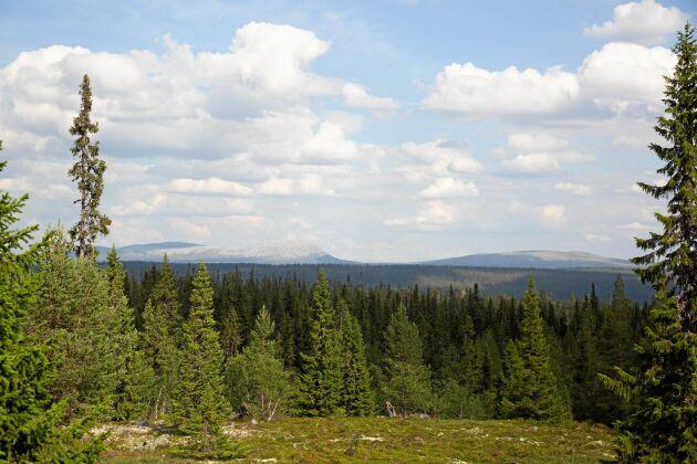 Väglöst land. De sista kilometrarna till fäboden i Städjan-Nipfjällets naturreservat, får man gå till fots.